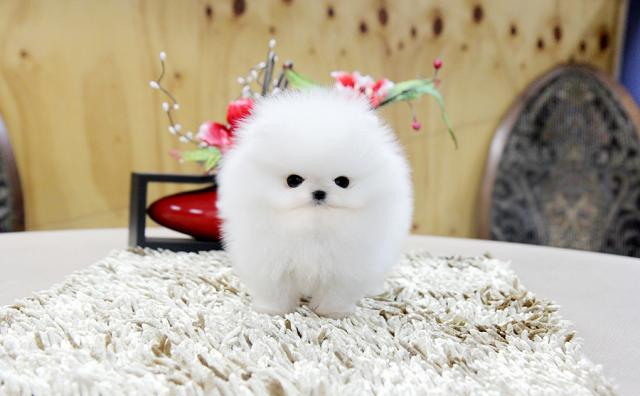Regalo lindo mini pomeranian toy lulu cachorros