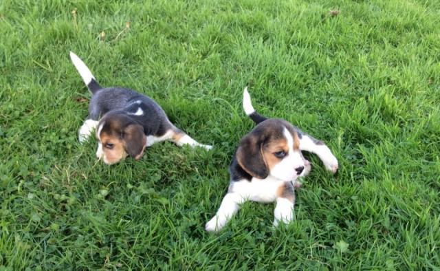 REGALO Cachorros Beagle disponibles ahora listos..