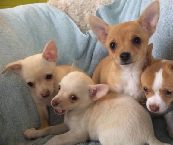 Regalo macho y hembra Chihuahua cachorros