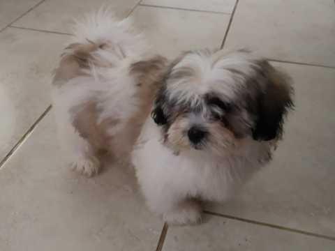 REGALO Linda Shih Tzu Cachorros Para Adopción
