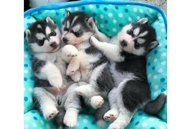 Regalo cachorro husky siberiano para adopcion