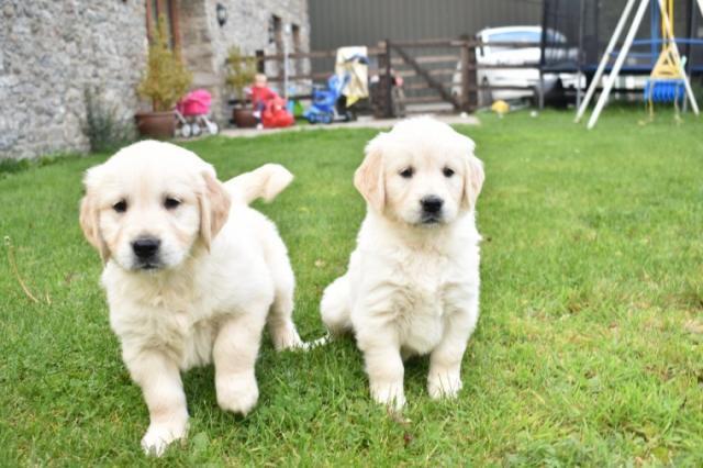 cachorros golden nacionales
