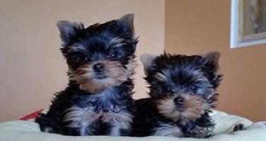 Regalo Yorkshire Terrier Mini Toy hombre y mujer para su adopcio