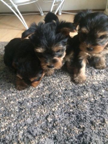 Compra Venta De Perros Baratos En Las Palmas