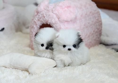 Regalo Cachorros Lulu Pomeranian Mini Toy