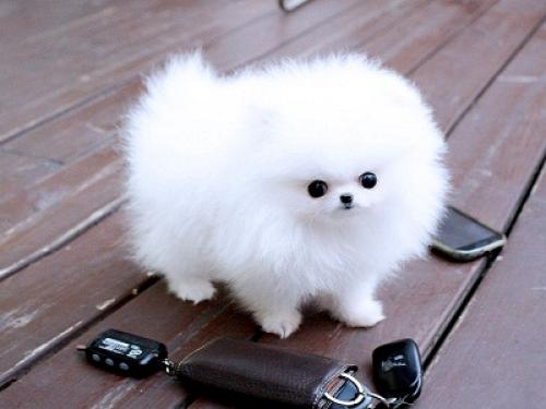 Regalo Perrito hermoso, pomeranian mini toy