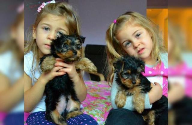 Regalo macho y hembra Yorkshire terrier cachorros