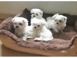 Regalo preciose cachorros Bichon maltes mini toy