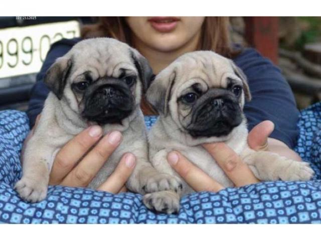 Regalo Cachorros Pug Carlino en adopcion oferta gratis
