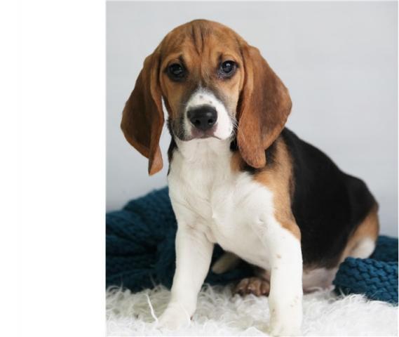 Regalo macho y hembra Beagle cachorros
