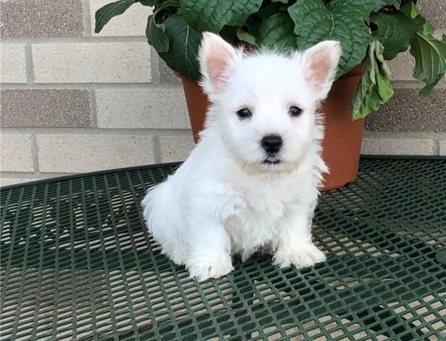 REGALO EXCELENTE WESTY TERRIER Cachorros Para Adopción