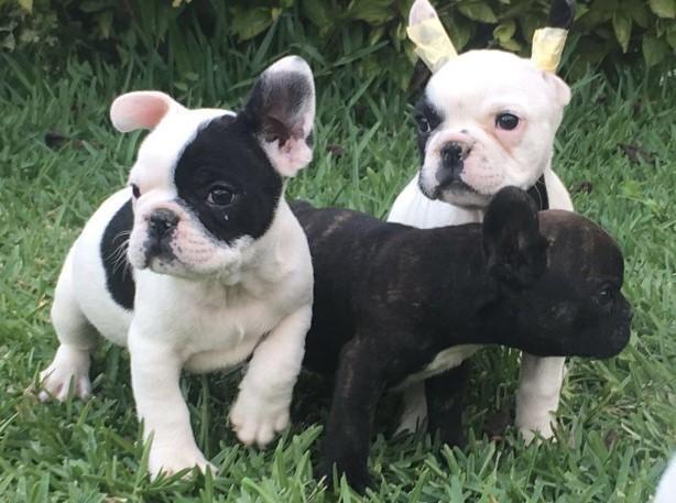 REGALO Bulldog Francés macho y hembra Disponibles.