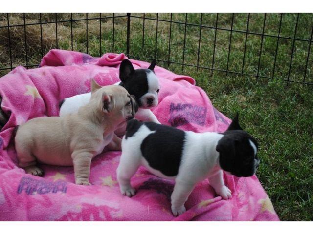 regalo cachorritos de Bulldog Frances