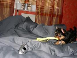 REGALO Linda Yorkshire Cachorros Mini Toy Para Adopción