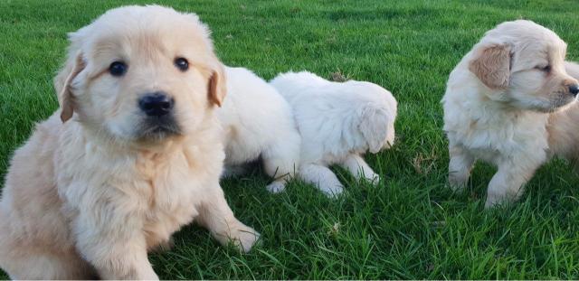 Excelente Camadad cachorros de Golden Retrieve