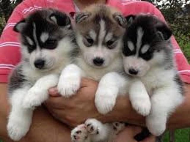 regalo preciosos cachorros de Husky siberiano