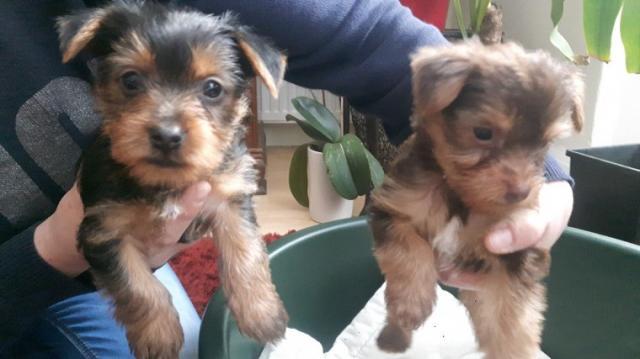 Adorables cachorros de yorkshire para adopción