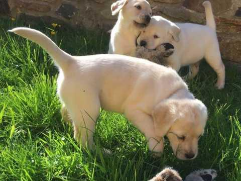 REGALO Dos cachorros Labrador gratis