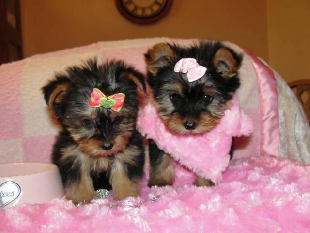 Lindos cachorros de Yorkshire terrier para adopción
