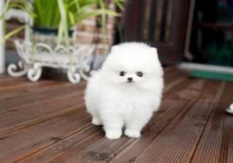Pomerania para adopción