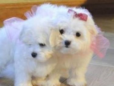 Regalo adorables cachorros de maltes para navidad en adopción ...