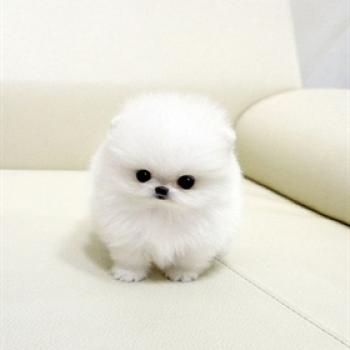 Regalo lindo mini pomeranian toy lulu cachorros para la adopcio