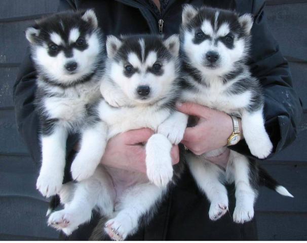 Regalo precisos cachorros de Husky Siberiano con azul ojos