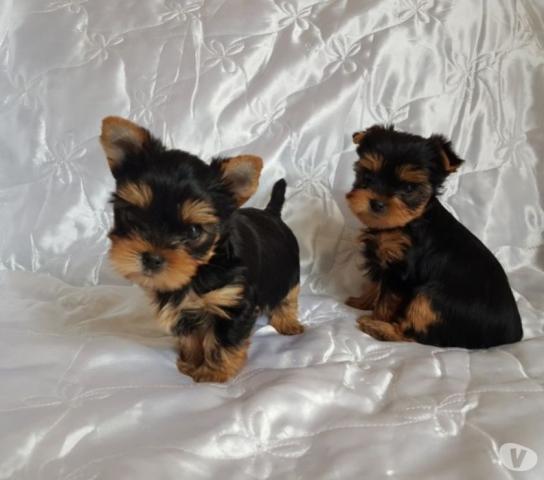 REGALO Linda Yorkshire Cachorros Mini Toy Para AdopciónAsocie