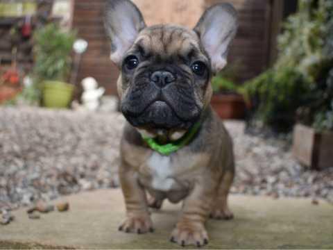 REGALO cachorros bulldog francés encantador para su aprobación