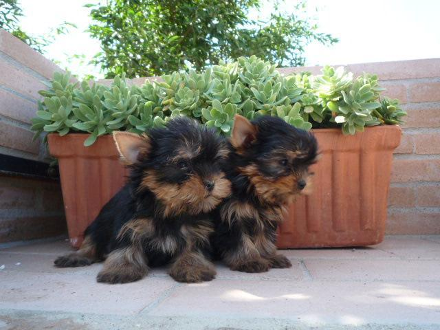 Cachorros Yorkshire Terrier Mini Toy hombre y mujer