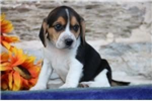 Regalo cachorros de Beagle Tri-color