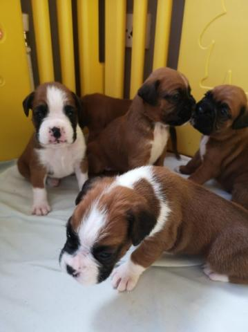 Regalo magnificent cachorros de Boxer