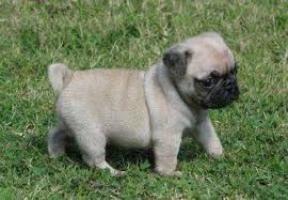 regalo cachorritos de Carlino