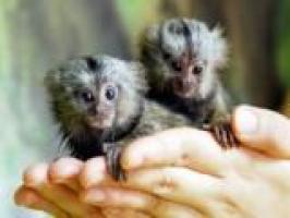 Ofertas: Regalo inteligente Monos titi Para Su Adopción