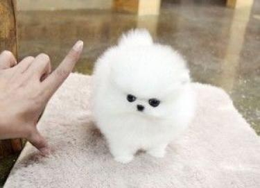Regalo hermosa pomeranian cachorros mini toy