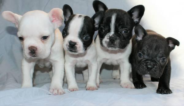 Regalo Macho cachorro de Bulldog Francés Bulldog.