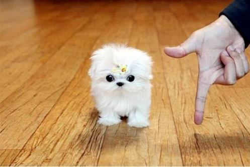 Regalo bichon maltes cachorros minis toy