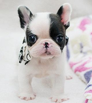 Regalo cachorros Bulldog frances en adopcion