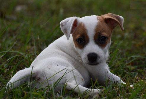 Regalo cachorros Jack Russell