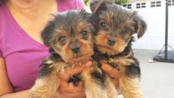 día de San Valentín regalo Yorkshire terrier cachorros