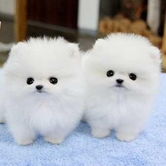 Preciosos mini perritos pomeranios de juguete con pedigrí.