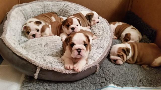 Preciosas camadas de Bulldog ingles.