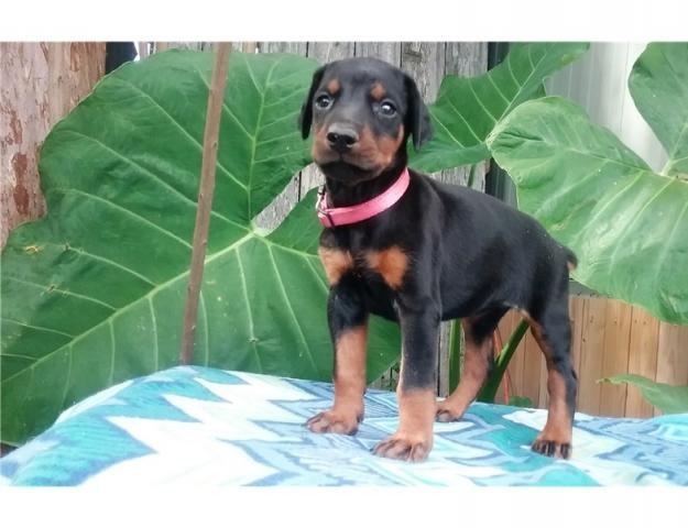 súper dulce impresionante Doberman cachorros buscando una casa