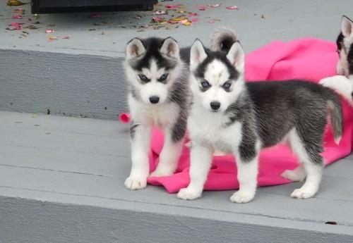 súper dulce impresionante Husky cachorros buscando una casa