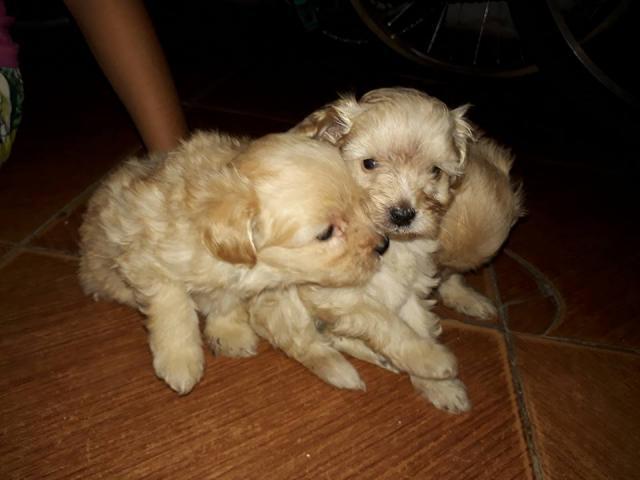 REGALO CANICHE TOY Preciosos Cachorros De Caniches Toy,
