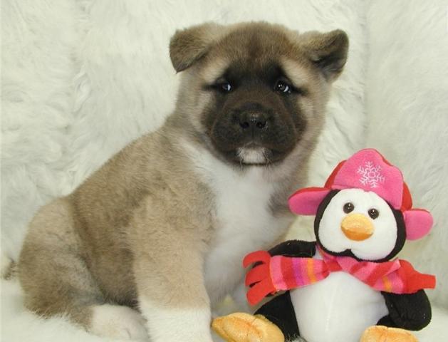 súper dulce impresionante Akita Inu cachorros buscando una casa