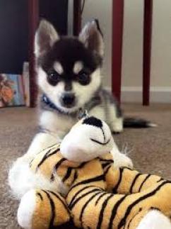 magníficos cachorros de husky siberiano