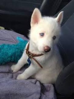 Regalo husky siberiano Cachorros