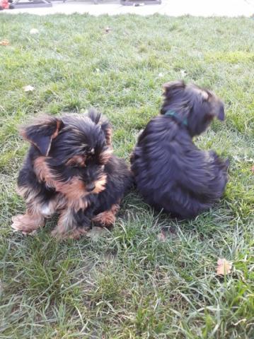 Regalo Dos Cachorros Yorkshire Terrier para adopción