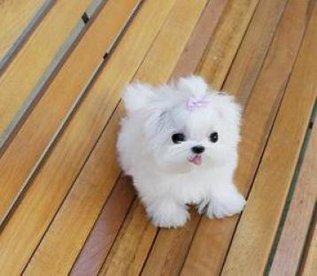 Regalo Dos Cachorros Bichon Maltes para adopción